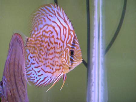 Discus are the king of fish!