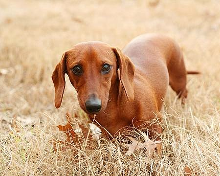 This is Chocula.  He is a miniature dachshund, and he is my miniature dachshund.